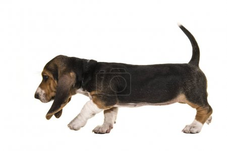French basset puppy walking en sniffing around, tracking with tail up and seen from the side isolated on a white background
