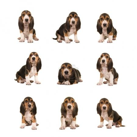 Collage with nine different basset artesien normand puppy dogs on a white background