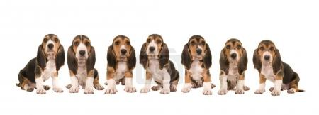 Litter of 7 basset artesien normand puppy dogs sitting in a row next to each other isolated on a white background