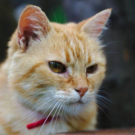 Photo pour Gros plan sur un chat domestique rouge contemplatif - image libre de droit