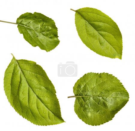 One leaf of an apple tree. Isolated on white background. Set