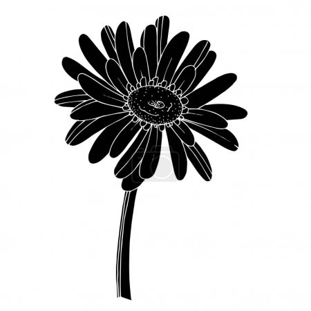 Illustration for Vector Gerbera floral botanical flower. Wild spring leaf wildflower isolated. Black and white engraved ink art. Isolated gerbera illustration element on white background. - Royalty Free Image