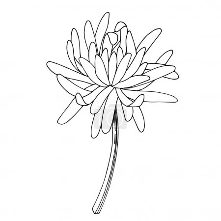 Illustration for Vector Chrysanthemum floral botanical flower. Wild spring leaf wildflower isolated. Black and white engraved ink art. Isolated chrysanthemum illustration element. - Royalty Free Image