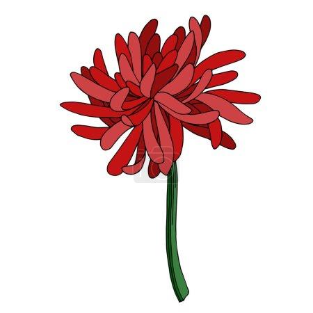 Illustration pour Vector Chrysanthemum fleur florale botanique. Isolement de fleurs sauvages printanières. Encre noire et blanche gravée. Élément d'illustration de chrysanthème isolé. - image libre de droit