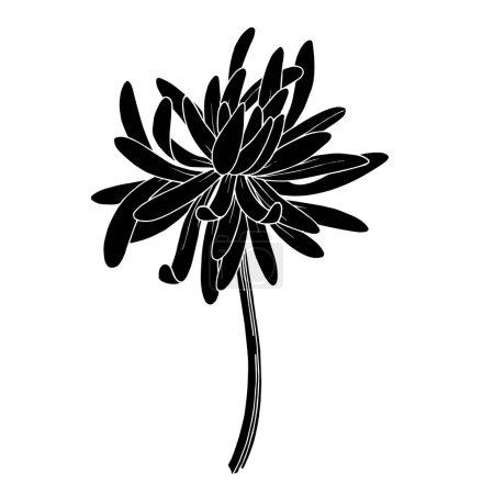 Wektor Chryzantemy kwiat botaniczny. Czarno-biała grawerowana sztuka tuszu. Izolowany element ilustracji chryzantemy.