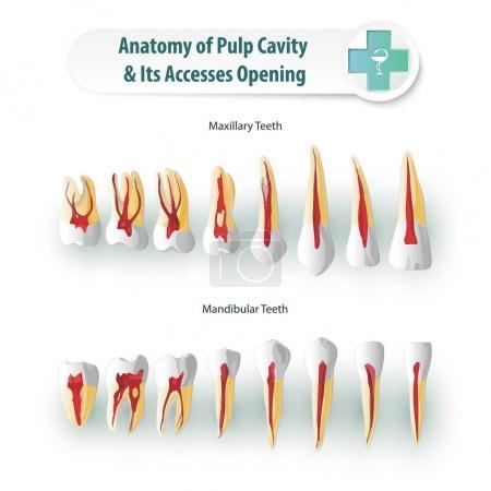 Dental Anatomy 2