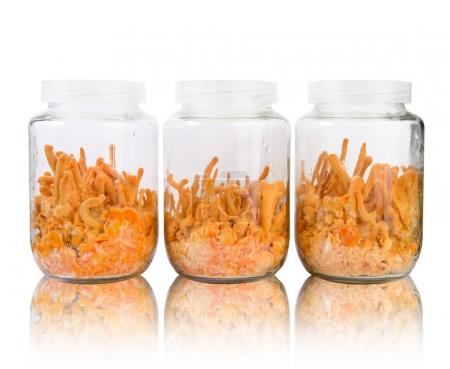 Three fresh Cordyceps in glass bottles