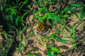 Manu National Park, Peru - August 09, 2017: Small frog by night in the Amazon rainforest of Manu National Park, Peru