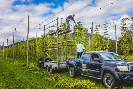 People harvesting hop