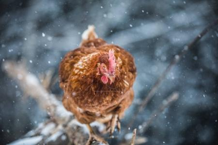 Free Range Domestic Rustic Eggs Chicken on a Wood Branch Outside during Winter Storm.