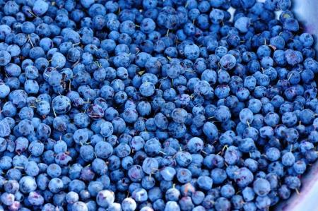 closeup of ripe picked fresh blue berries