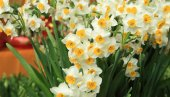 Narcissus flowers for chinese lunar new years decoration