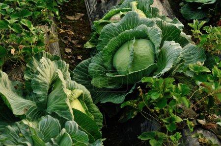 Photo pour Choux et fraisiers poussant au jardin - image libre de droit