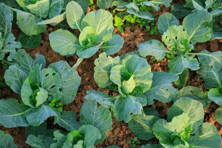 green cabbages plants growing at vegetable garden