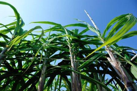 Photo pour Plantes vertes de canne à sucre poussant en plein champ sous le soleil en Asie - image libre de droit