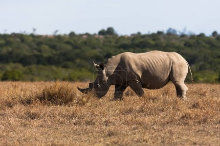 Large white rhinoceros grazes. Kenya, Africa