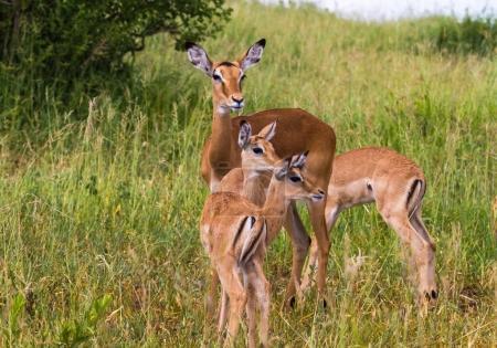 Small family of impalas. Tarangire, Tanzania