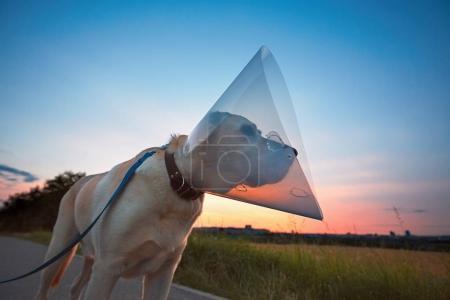 Photo pour Silhouette du vieux chien après l'opération. Labrador retriever portant un collier de protection médicale sur la promenade . - image libre de droit