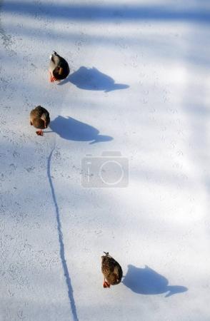 ducks on snow and their shadows