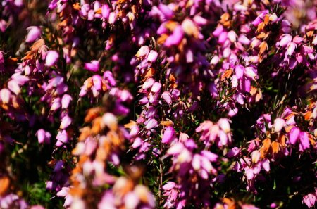Closeup of pink flowers on a heather plant, Erica ...
