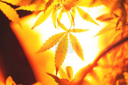 Photo for Cannabis growing lamp.indoor lighting for plants closeup - Royalty Free Image