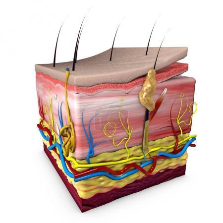 Photo pour Section de la peau du corps humain, anatomie, section 3D de la peau humaine. Rendu 3d - image libre de droit