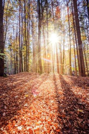 Photo pour Belle forêt en automne, belle journée ensoleillée avec des feuilles colorées sur le sol - image libre de droit