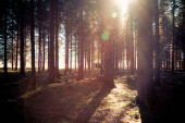 Magical sunset and sunbeams in the woodland, spring time. Tree trunks and light.