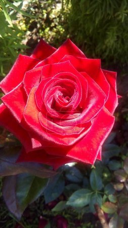 Beautiful red rose on a background of green foliage in the garden in summer, bright flower