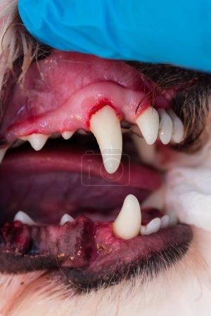 Photo pour Photo rapprochée d'une bouche de chien avec parodontite - image libre de droit