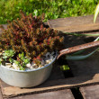 Sukkulents growing outside in a old pan, decorativ...