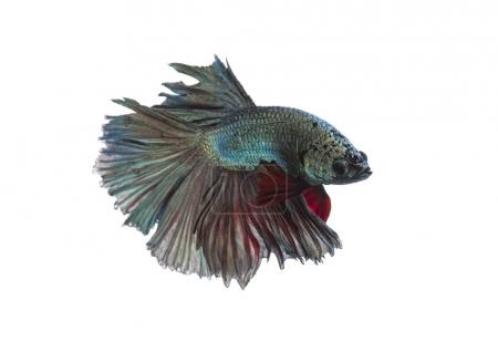 Photo for Green metallic betta fish, siamese fighting fish on white background isolated - Royalty Free Image