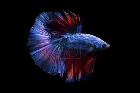Photo for Fancy betta fish,Violet siamese fighting fish on black background isolated - Royalty Free Image