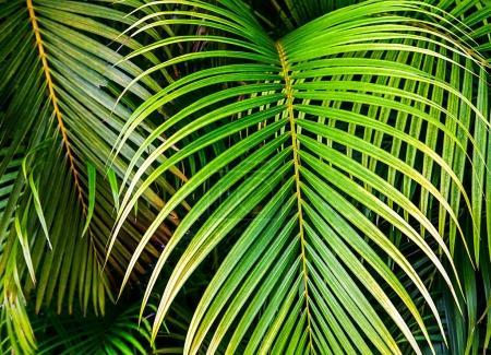 Foto de Hojas de palmeras tropicales, selva hoja transparente floral de fondo - Imagen libre de derechos