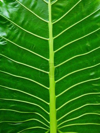Foto de Textura de hoja tropical, Fondo de naturaleza verde de follaje de palma grande. - Imagen libre de derechos