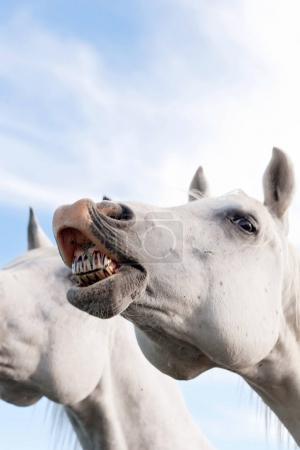 Photo pour Image en gros plan d'un cheval arabe blanc qui se dresse les dents . - image libre de droit