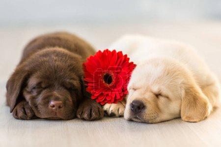 Photo pour Deux mignons petits chiots assis sur fond en bois - image libre de droit