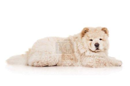 Foto de Chow-chow cachorro en el estudio - Imagen libre de derechos