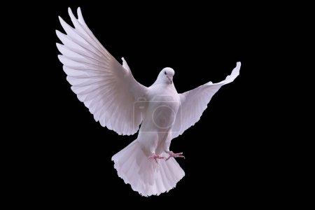Photo pour Colombe blanche volante sur fond noir - image libre de droit