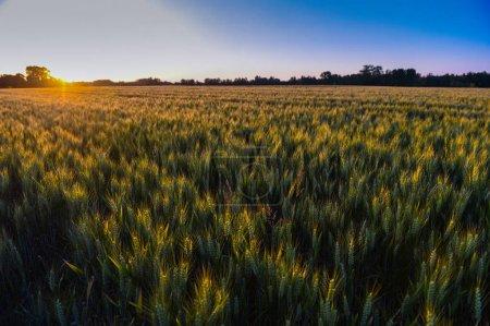 Photo pour Coucher de soleil sur le champ de blé - image libre de droit