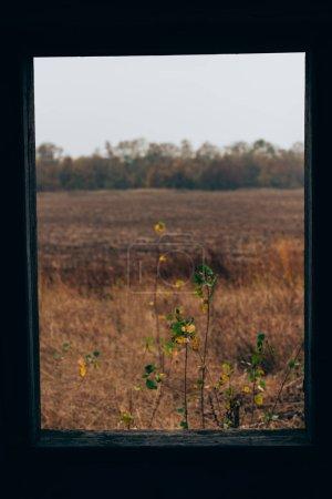 Photo pour Concentration sélective de l'herbe sur le champ derrière la fenêtre de la maison abandonnée - image libre de droit