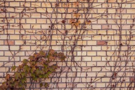 Foto de La hiedra silvestre en amarillo y rojo deja contra la pared roja de ladrillo viejo como un concepto vintage de fondo de otoño. - Imagen libre de derechos