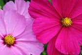 Cosmea or Cosmos flowers bloom in white, cool pink and red tones
