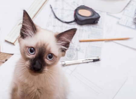 blueprints and kitten, on a wooden table