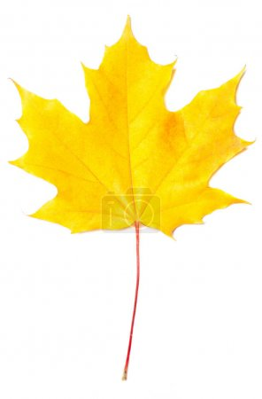 Isolated autumn yellow leaf on white background. Autumnal foliage  design  for posters, banners, flyers, wallpaper