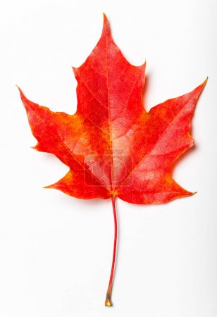 Isolated autumn red  leaf on white background. Autumnal foliage  design  for posters, banners, flyers, wallpaper