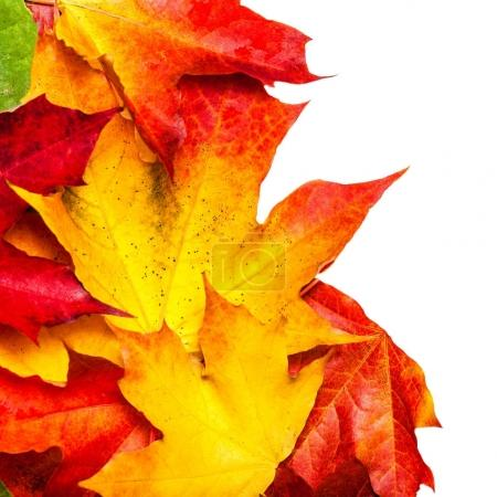 Autumn composition with maple leaves isolated on white background. Beautiful Autumn background with copyspace.