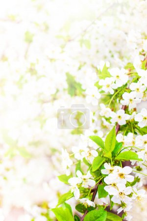 Spring blossom. Spring white flowers design border background with copy space