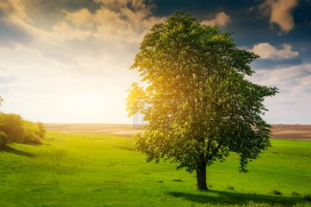 Photo for Lonely tree on a sunny meadow - Royalty Free Image
