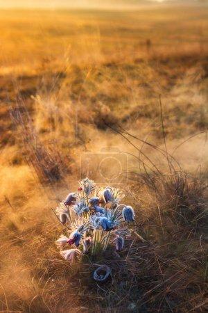 Photo pour Fleur pâque noire - Pulsatilla nigricaus - image libre de droit